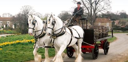 Die berühmten Samuel Smith Shire Horses bei der Auslieferung des Fassbieres