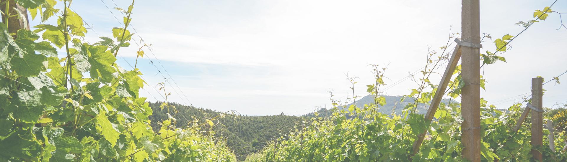Weine - Friaul - Italiens Weißweinhochburg! 01/2017 - Slider